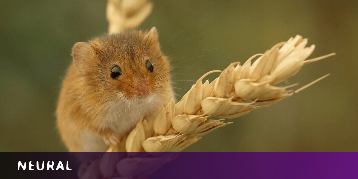 AI reveals that mice's faces express a range of emotions — just like humans