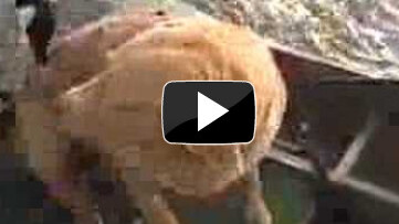 Ever seen a goose go after a dog? No i hadn't either. [video]