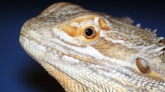 Watch this real-life bearded dragon eat virtual ants