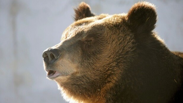 Swedish brown bear cubs' birth to be live-streamed to the world