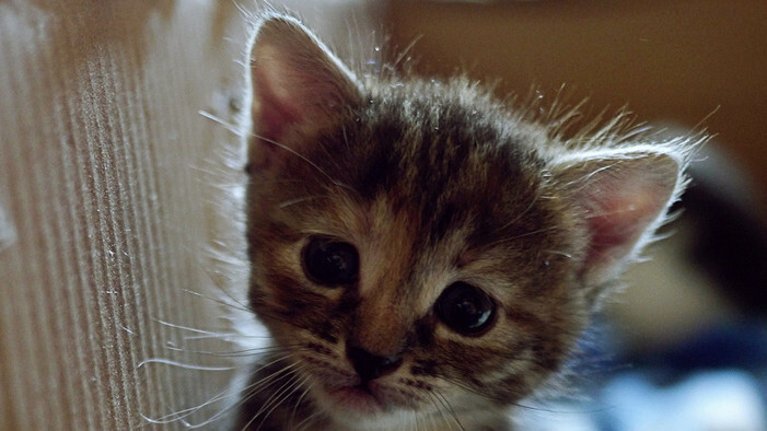 This jQuery plugin allows you to turn any HTML element into a kitten