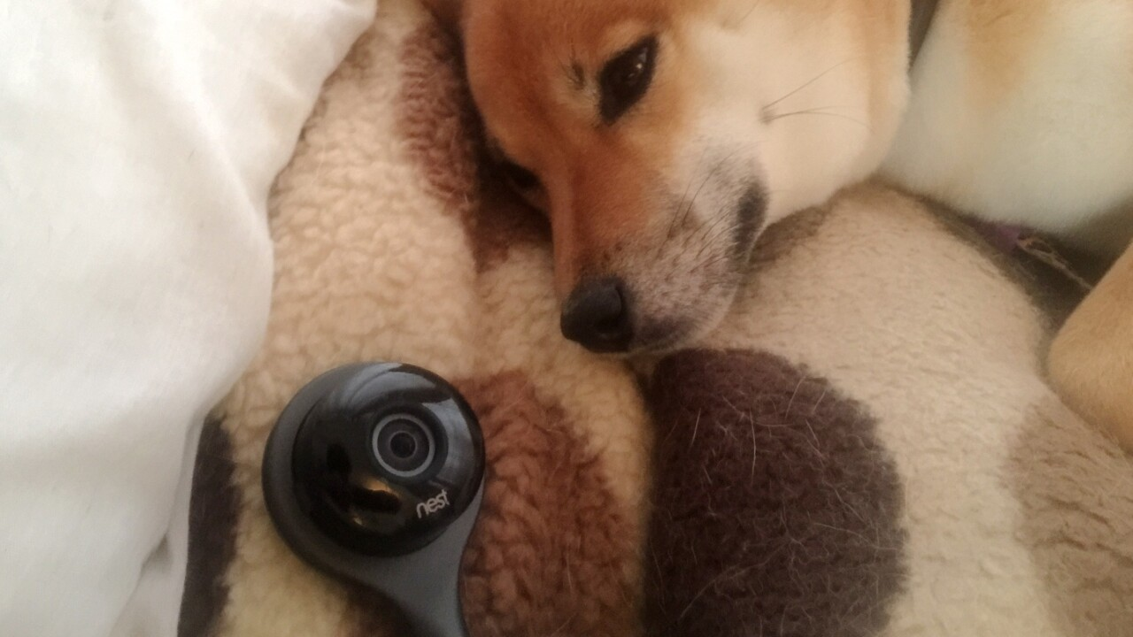 How the Nest Cam helped me care for my shiba inu after surgery