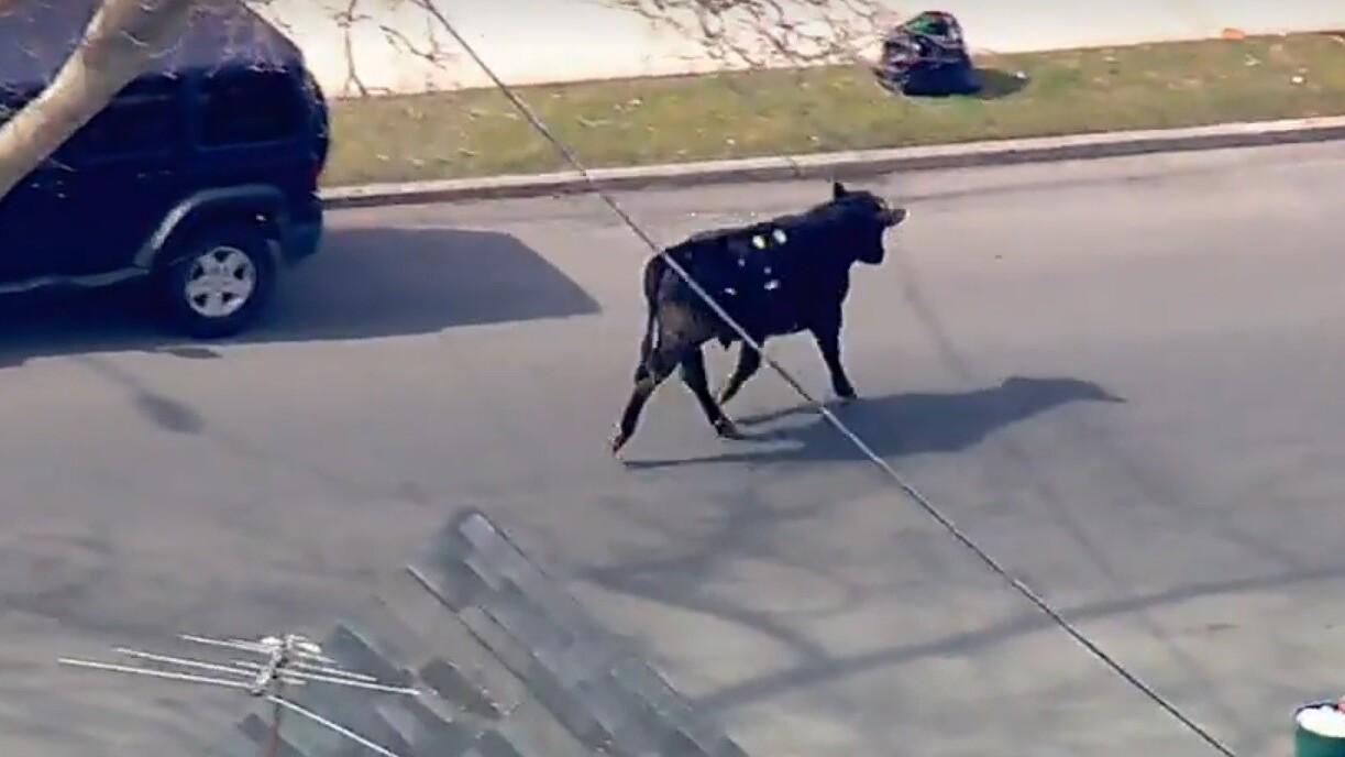 Bull charging through NYC takes social media by storm