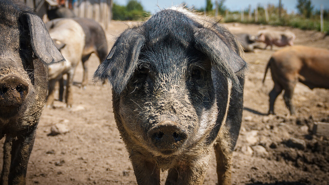 Cloned pigs could soon provide organs for human recipients