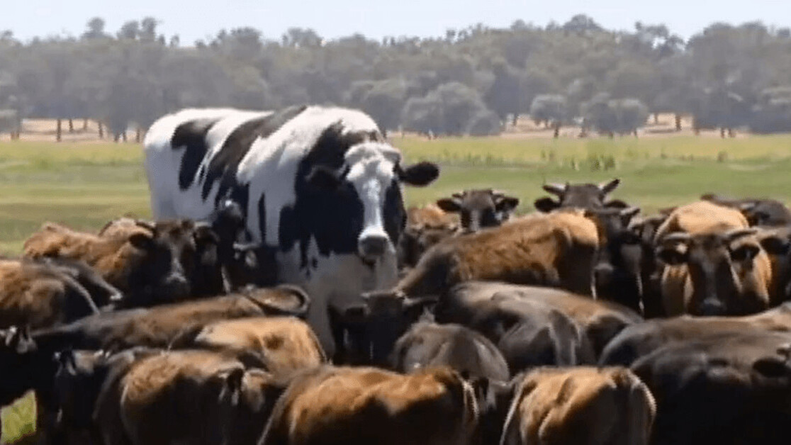 Here's why Knickers, the famous meme cow, is so big