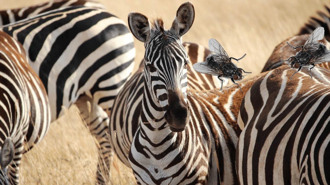 Scientists say flies don't like zebra stripes