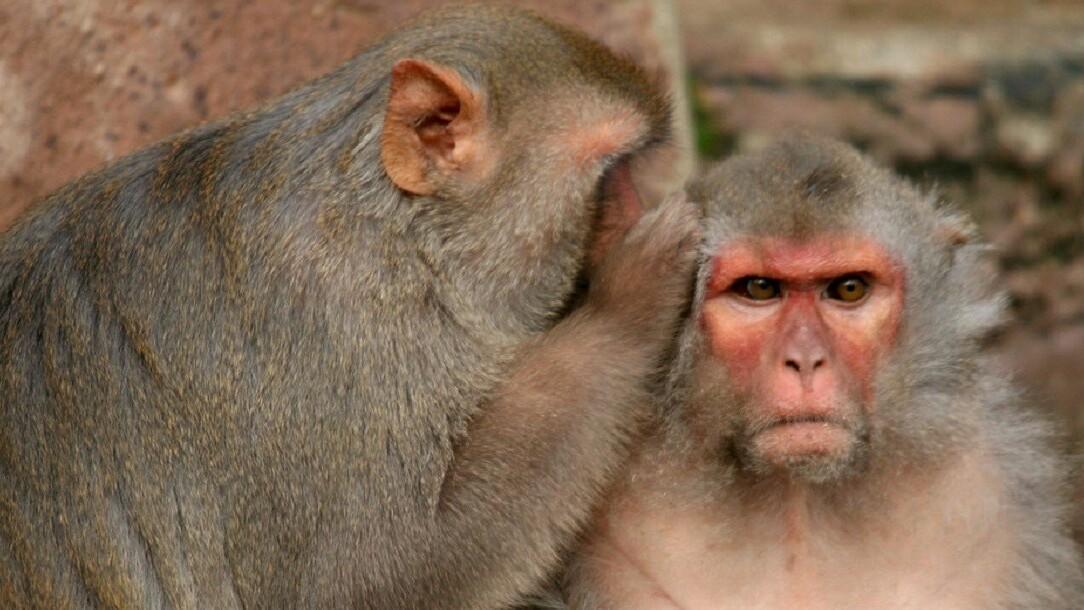 Boosting a single brain molecule reduced anxiety in lab monkeys