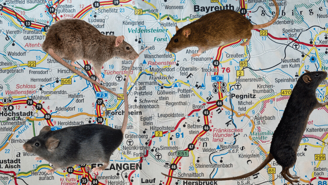 This rat detective uses DNA to track how rats move around cities