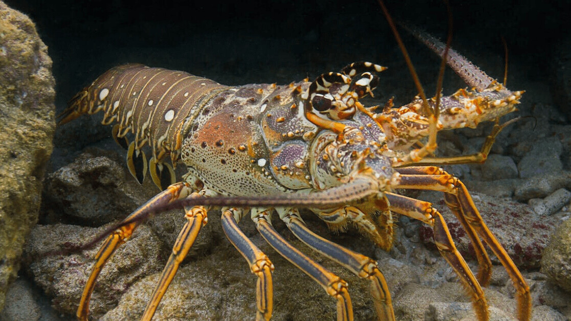 Caribbean seagrass is littered with infected lobsters — but the habitat may save the species