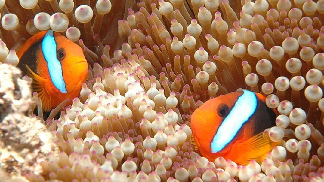Scientists lured fish back to The Great Barrier Reef by making it sound alive