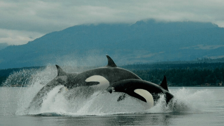 Google's new AI model 'listens' to killer whales to help protect the species