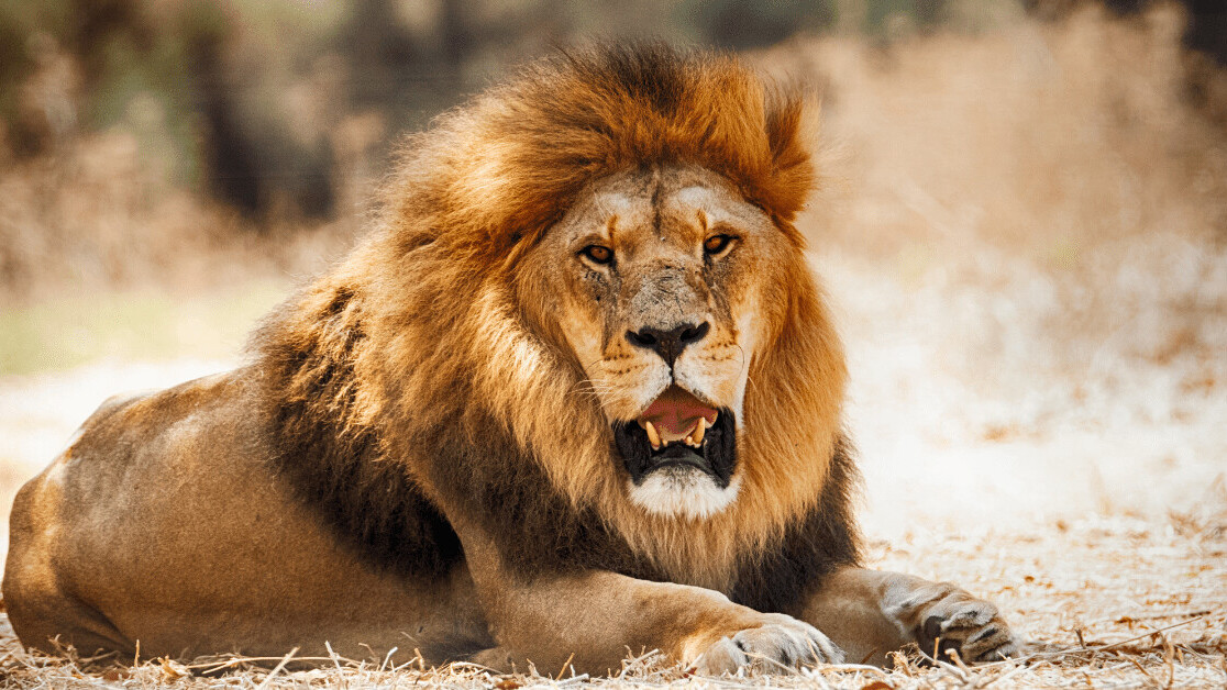 AI discovers that every lion has a unique and trackable roar