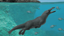 Ancient whales had four legs, and split their time between land and sea