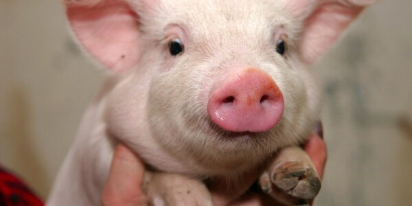 Whistling Pigs: German Adventures with Google Translate