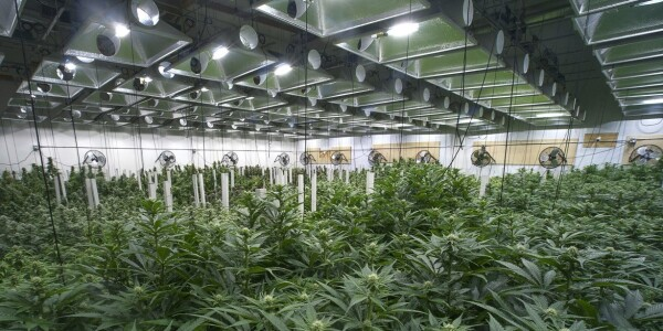 Canadian university launches online cannabis cultivation courses