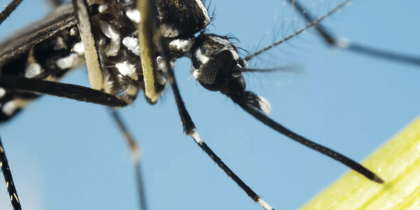 Malaria won't be solved by feeding mosquitos sugar, researchers conclude