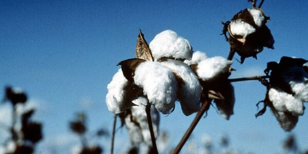 How AI is helping Indian cotton farmers reduce pesticide use