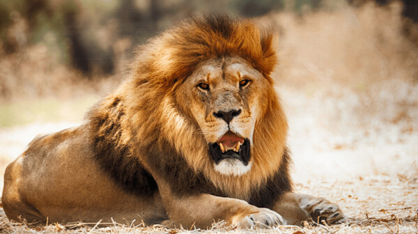 Scientists from Oxford University have used a apparatus acquirements algorithm to match recordings of a lion's roar to alone animals.